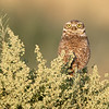 Burrowing Owl Parent