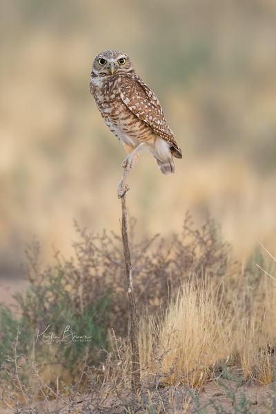 Burrowing Owl Balancing Act