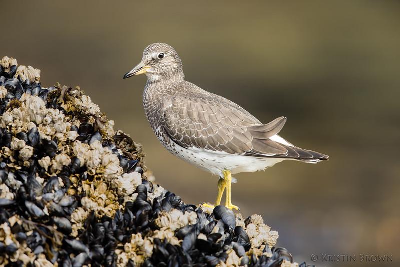 Juvenile Surfbird