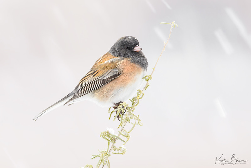 Dark-eyed Junco  in a snow storm (Pink-sided race)