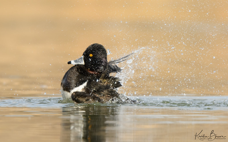 Bathing Male Ring-necked Duck