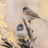 Two Dark-eyed Juncos