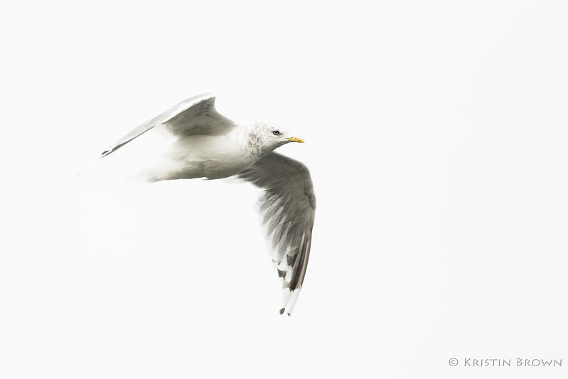 High Key Mew Gull