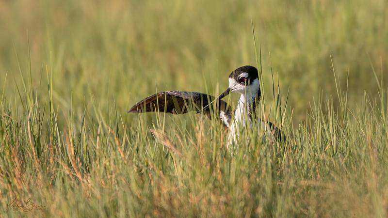 Breeding Behavior Black-necked Stilt