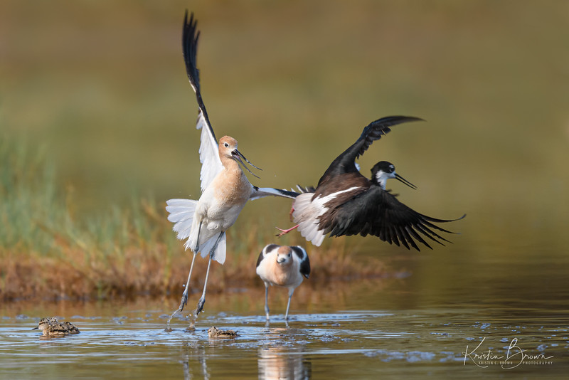 American Avocets Defending Their  Chicks