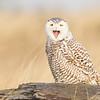 Yawning Juvenile Snowy Owl