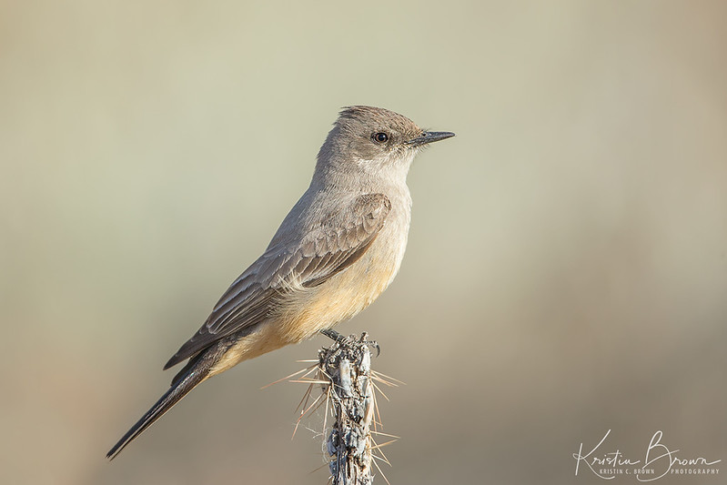 Say's Phoebe in Last Light