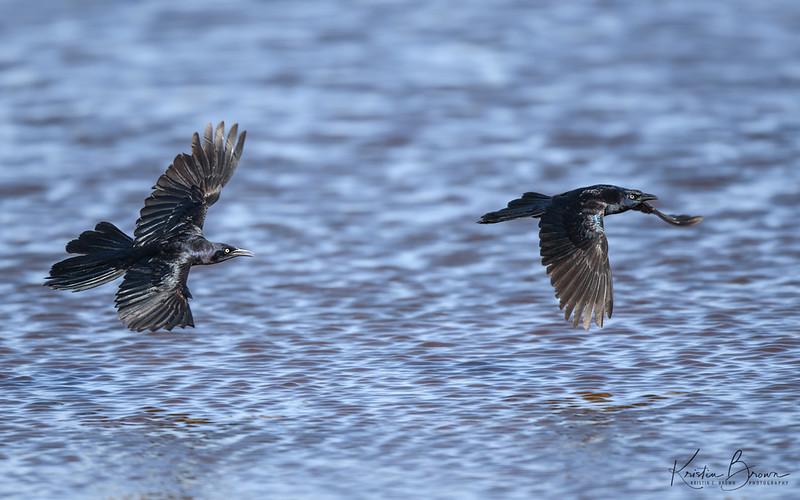 Male Great-tailed Grackes in Flight