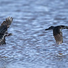 Male Great-tailed Grackes in Flight