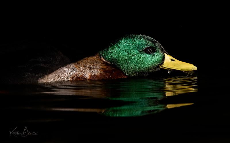 Mallard Drake in Black Water