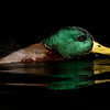 Mallard Drake in Black Water