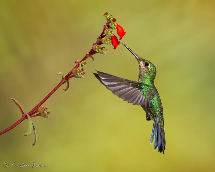 Green-crowned Brilliant Hummingbird