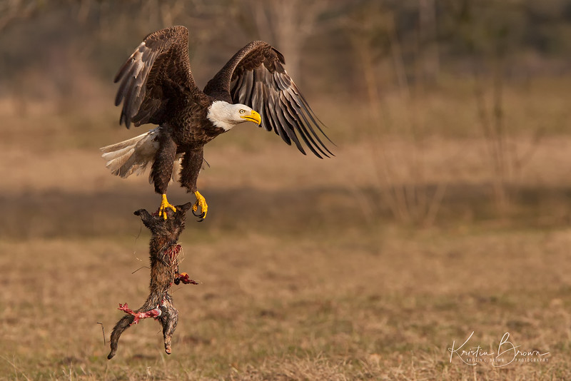 Bald Eagle with Prey (maybe cat}