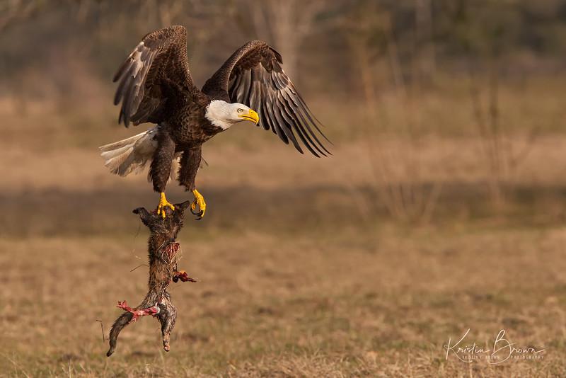 Bald Eagle with ???