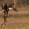 Bald Eagle with ???