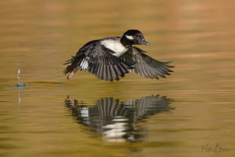 Female Bufflehead Taking Flight