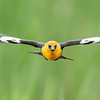 "Coming ""atcha""!  Yellow-headed Blackbird"