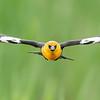 "Coming ""atcha""!  Yellow-headed Blackbird"