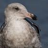 Juvenile Westren Gull