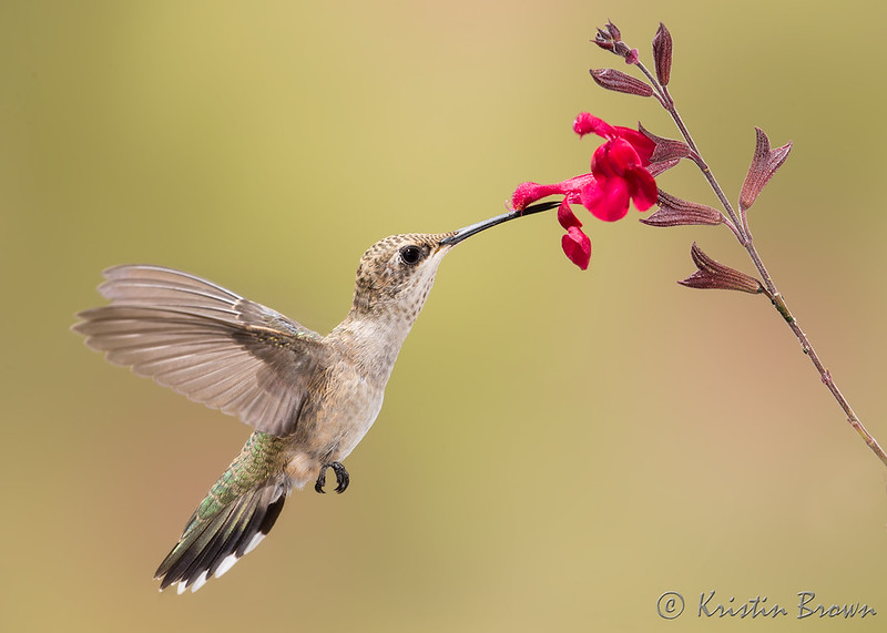 Broad-tailed Hummingbird at Salvia