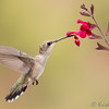 Broad-tailed Hummingbird at Salvia