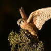 Female America Kestrel (Captive Avian Ambassador for Hawks Aloft)
