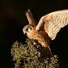 Female America Kestrel (Captive Avian Ambassador for Hawks Aloft)
