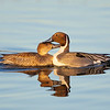 Male and Female Northern Pintail Ducks