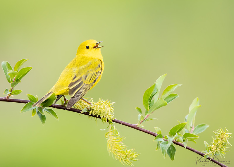 Yellow Warbler on Willow
