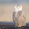 Snowy Owl in Early Morning