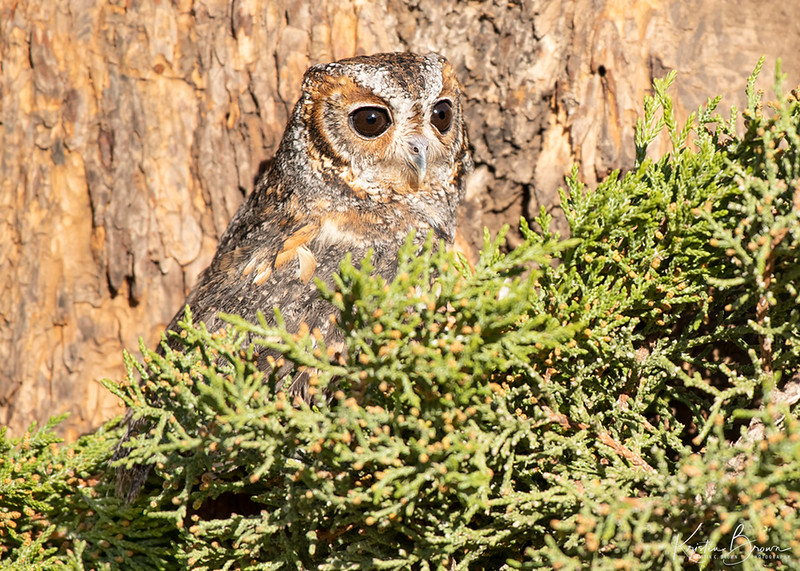 Flammulated Owl  (Captive Avian Ambassador for Hawks Aloft)