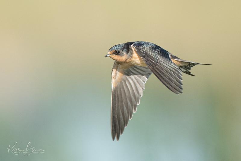 Barn Swallow :-)