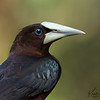 Chestnut Headed Oropendola Portrait
