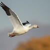 Snow Goose Over Cottonwoods