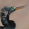 Breeding Plumage Anhinga