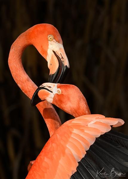 Flamingo Embrace (captive)