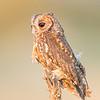 Flamulated Owl  (captive)