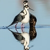 Black-necked Stilt Pair