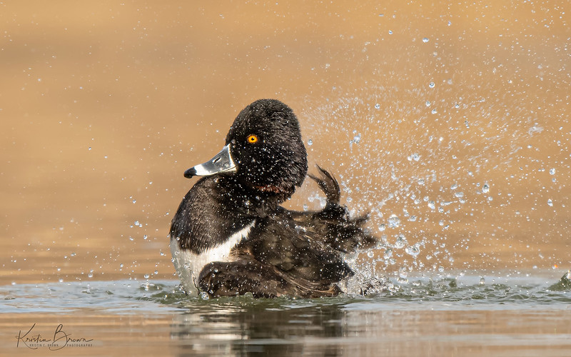 CLEAN Male Ring-necked Duck