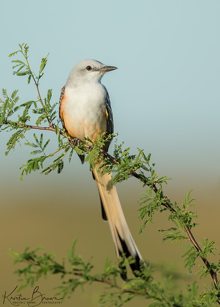 Scissor-tailed Flycatcher on Acacia