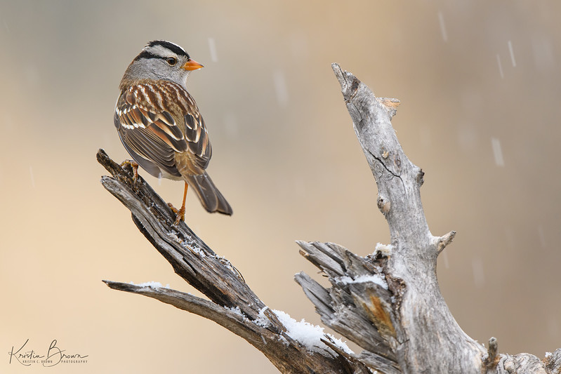 Male White-crowned Sparrow in the Snow