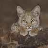 Baby Bobcat