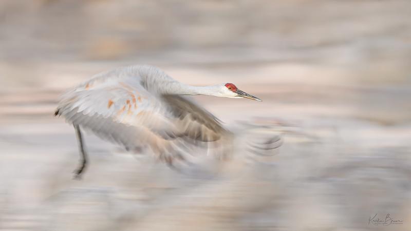 Sandhill Crane Pan Blur (study #2)
