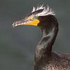 Breeding Plumage Double Crested Cormorant