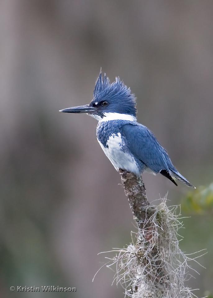 Belted Kingfisher, Blue Springs, FL
