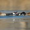 Springtime Canada Geese