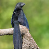 Groove-billed Ani showing off it's beautiful irridescence
