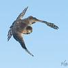 Adult Cooper's Hawk with focus!