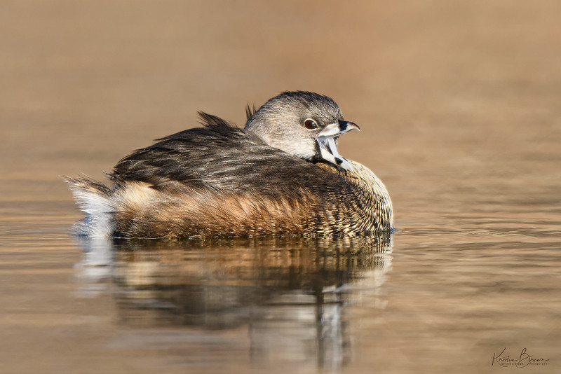 Pied-billed Grebe (Breeding Plumage)