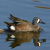 Blue-winged Teal<br /> Southern California wetlands